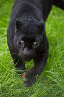 Black leopard Panthera Pardus prowling through long grass
