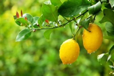 yellow lemons hanging on tree