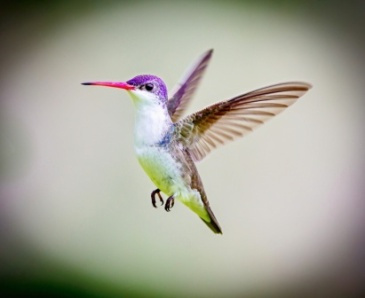 hummingbird-compressed-adobestock_93327213