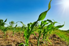 young corn plants Pixabay-4803128_1920