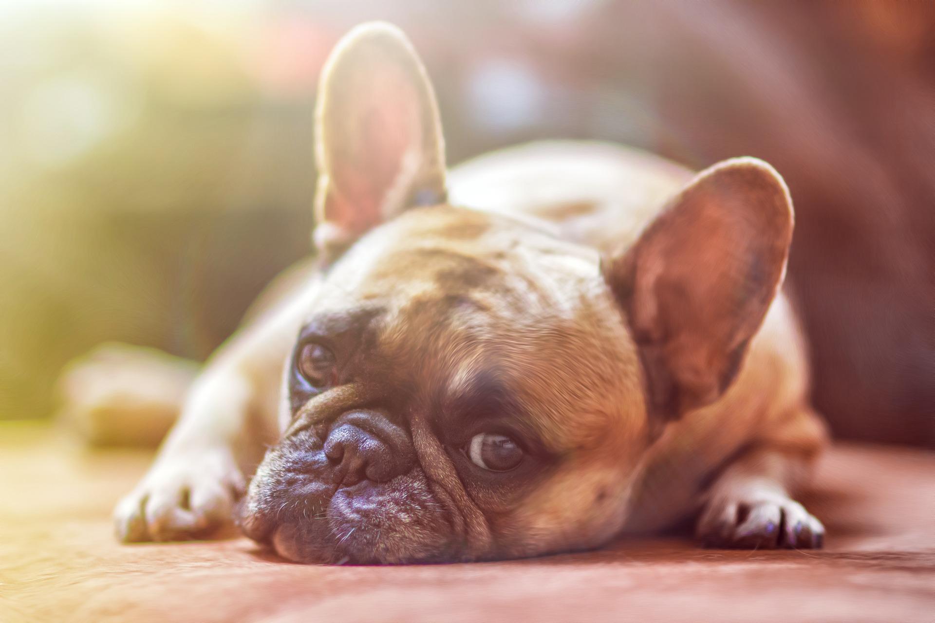 bulldog-Pixabay 1224267_1920